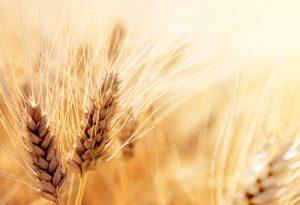 Buğday Yatırımı Nedir?
